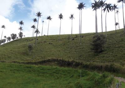 Bosque Palmas de Cera